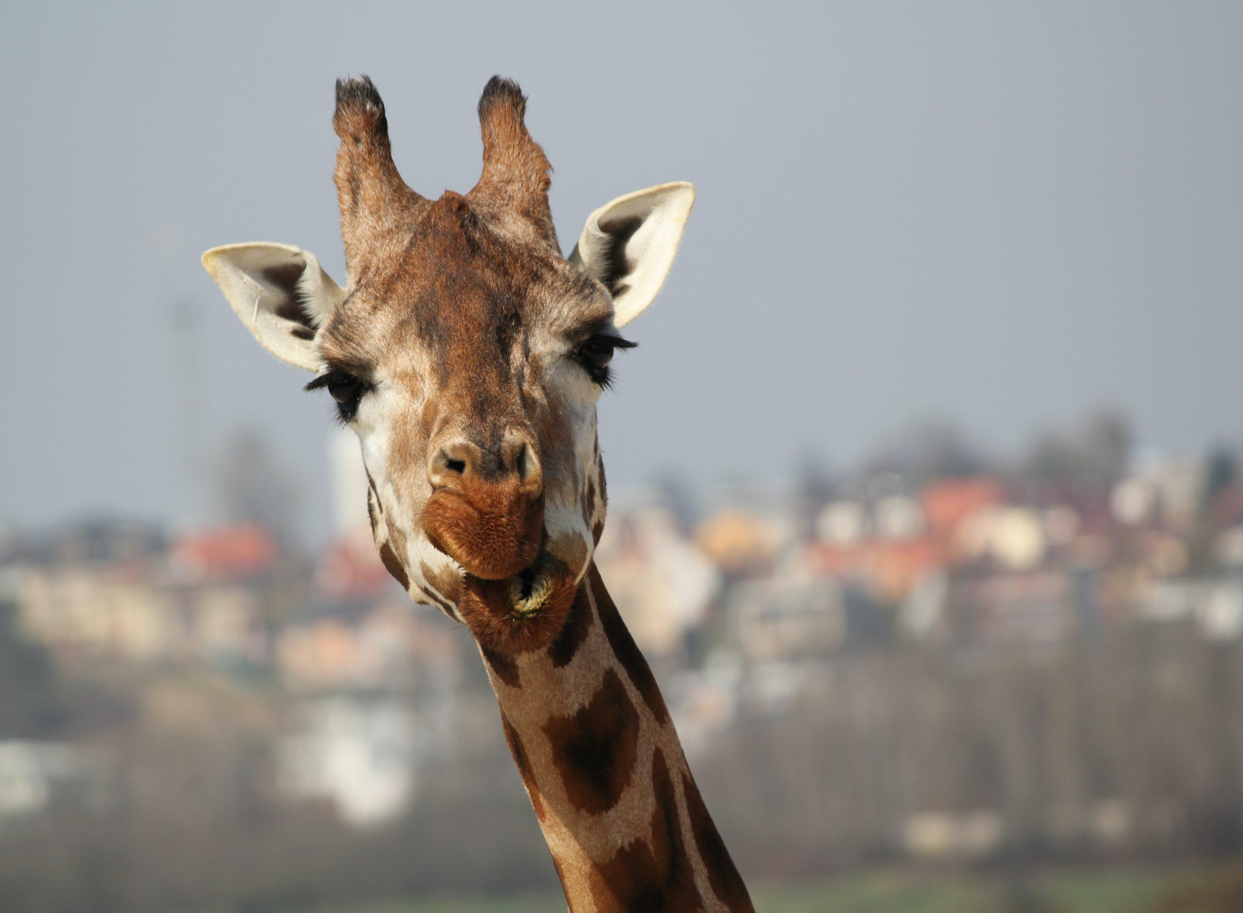 A closeup of a brown giraffe.